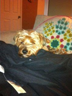yorkie spay recovery gt gt cranston lost yorkie dyer ave yorkie lost on cranston providence line