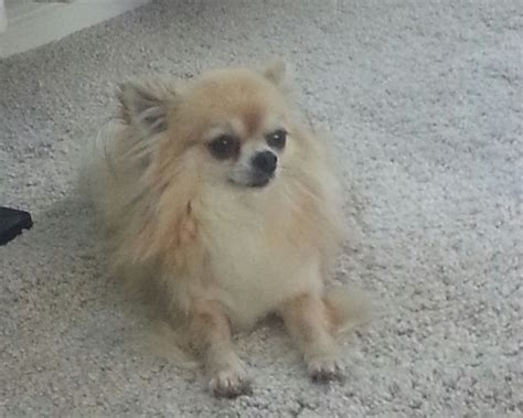 haired chihuahua puppies for sale in pa haired chihuahua temperament breeds picture