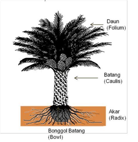 Pupuk Untuk Bunga Sawit aspek botani dan morfologi kelapa sawit budidaya kelapa