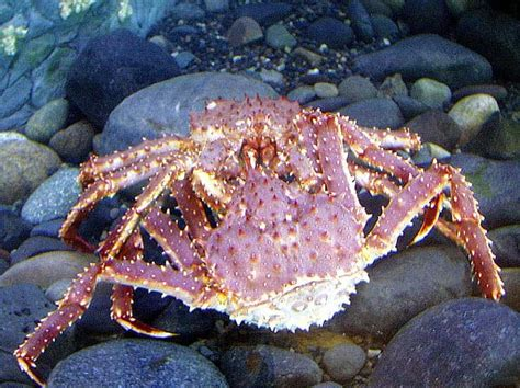 animal a day alaskan king crab