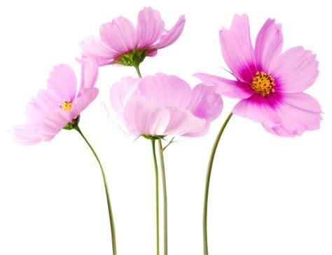 flower garden png cosmea flower png image pngpix