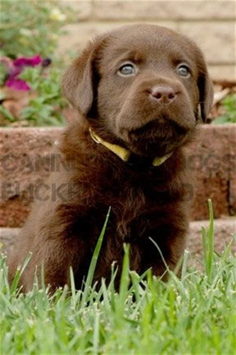 adora havanese the 25 best labs ideas on lab puppies black lab puppies and chocolate labs