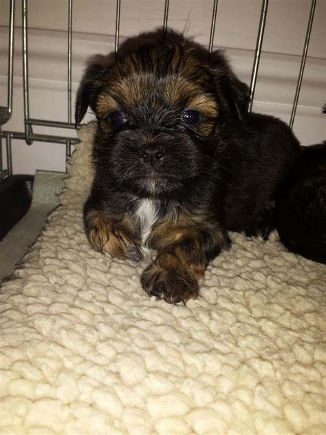 lhasa apso yorkie cross cross lhasa yorkie bridlington east of pets4homes