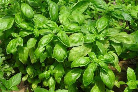 basilico in vaso malattie come coltivare basilico la semina le cure la raccolta e