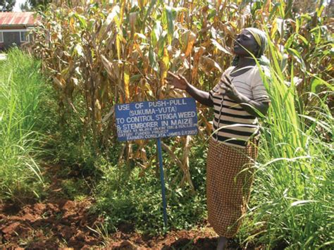 Plants Protect Plants And Triple Yields In East Africa