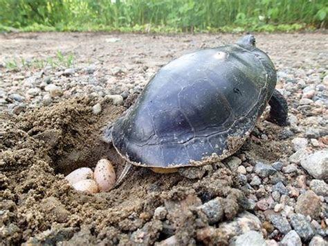 The Tortoise Will Lay Eggs Mainan Anak Limited turtles in trouble muskokaregion