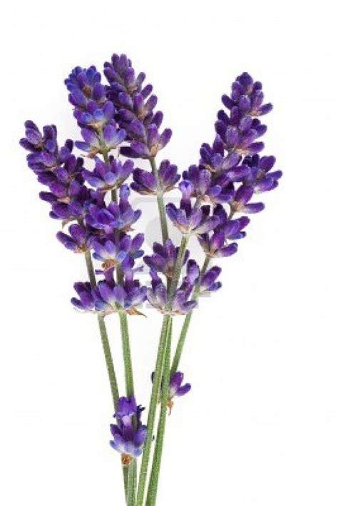14206210 lavender flower isolated on white jpg 801 215 1 200