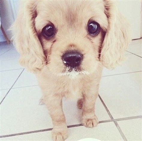 sad puppy faces sad puppy pictures photos and images for and