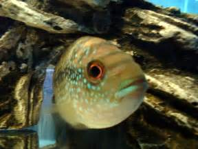 Caring for the Jack Dempsey Cichlid, its origin, behaviour and forum