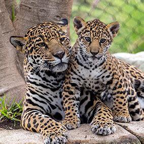 jaguar | san diego zoo kids