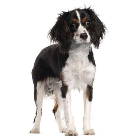 cavalier king alimentazione cavalier king charles spaniel scheda razza su cani it