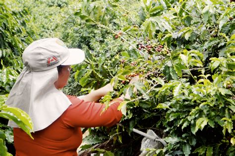 Burgayo Gayo Wine Coffee 1kg johan nystr 246 m brazil fortaleza crema