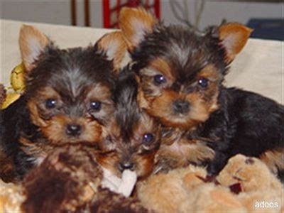 free puppies in nj pets atlantic city nj free classified ads