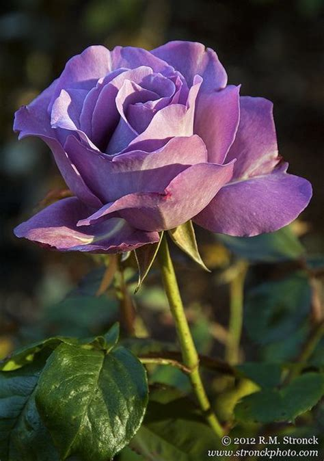 rose royal 406 best images about purple roses on pinterest purple boutonnieres and deep purple