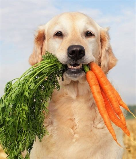 carrots for dogs 10 ways to keep your dogs cool and protect them from the