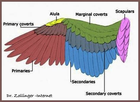 bird wing diagram swan a site dedicated to the proper care and