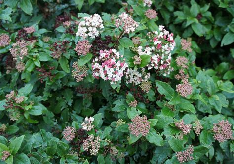 foragefor news winter flowering shrubs