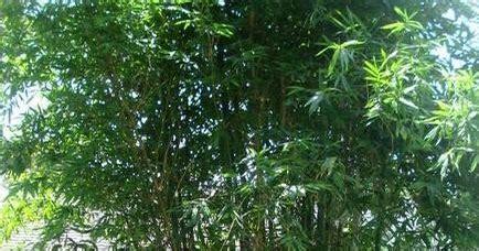 your own backyard giant bamboo for your own backyard 101 gardening