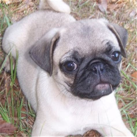 different colors of pugs pug puppies breeders pugs
