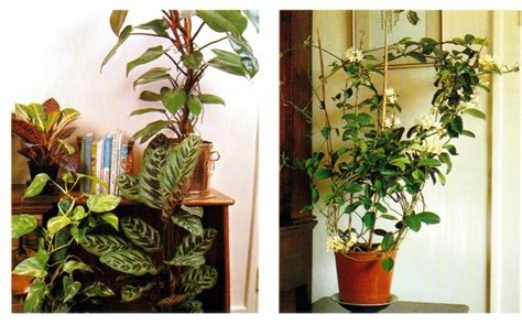 climbing houseplants to grow indoors climbing indoor plants how to grow climbing plants mcmurray