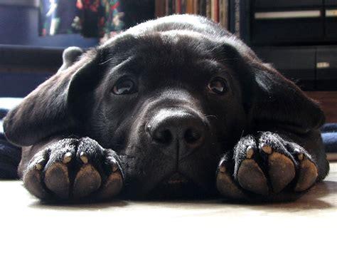 lab puppies ta labrador apportierhund hunderassen haustiere