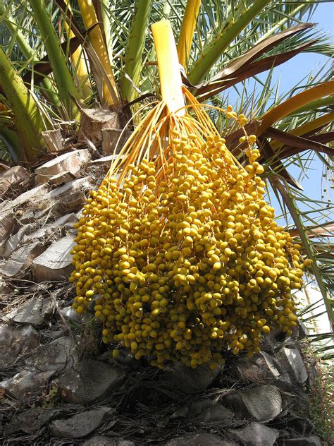 palm trees that fruit palm date fruits date palm