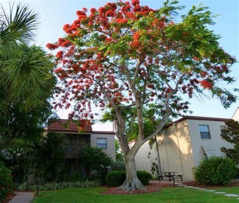 Sanibel Island Botanical Garden Kapok Tree Bombax Ceiba Picture Of Sanibel Moorings Botanical Gardens Sanibel Island