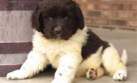 newfoundland puppies for adoption 25 best ideas about local puppies for sale on furs for sale doggie
