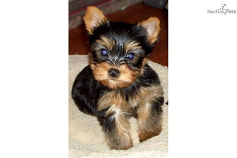 yorkie names for males yorkie puppy names breeds picture