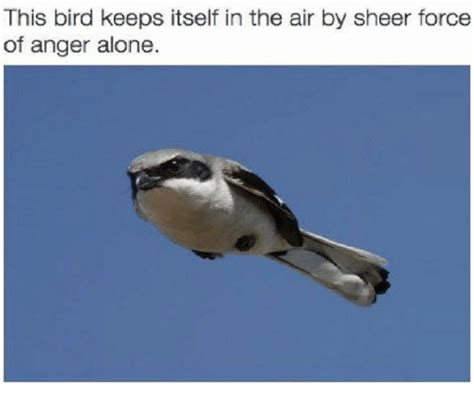 Bird Meme - this bird keeps itself in the air by sheer force of anger