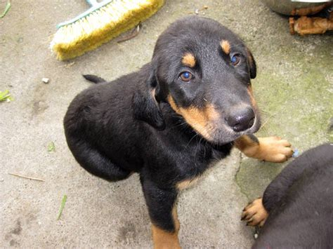 doberman shepherd puppies for sale doberman x anatolian shepherd puppies for sale adoption from columbia greater