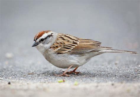 song sparrow 187 bird watcher s digest