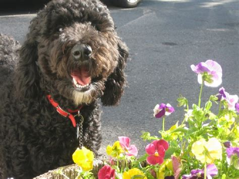 black goldendoodle haircuts the gallery for gt goldendoodle haircuts