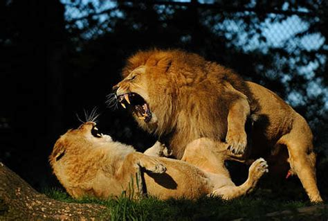 imagenes la leones fotos de animales leones