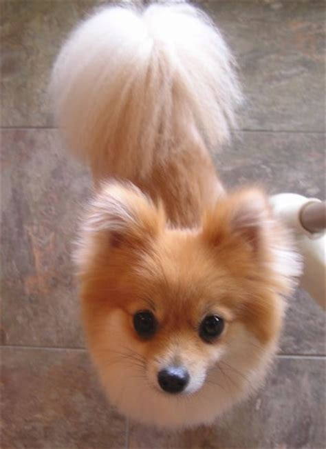 how to do a cut on a pomeranian pomeranian show cut breeds picture