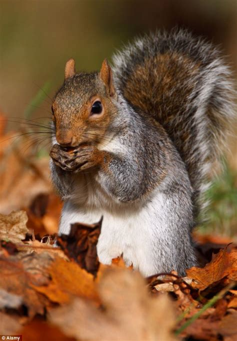 animal seasons squirrels autumn 1848358784 britain set for two autumns after dry august forces leaves to wilt and fall early