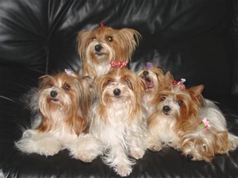 what color are yorkies parti color yorkies parti color yorkys color yorkies