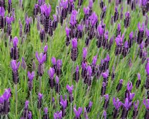 Rare Flower In The World - gardensonline lavandula stoechas
