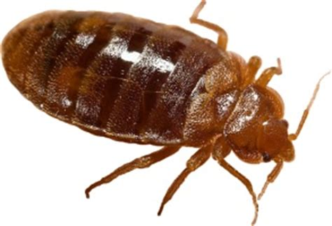 killing bed bugs with steam bed bugs online images frompo 1