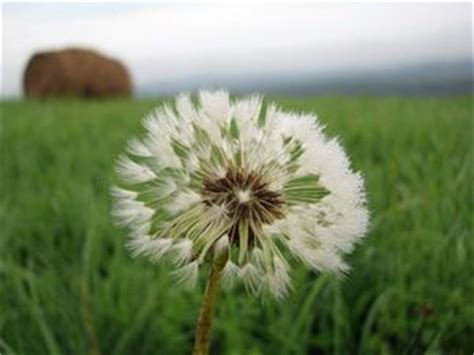 wallpaper bunga dandelion pin by sharifahnor hamidah on flower pinterest