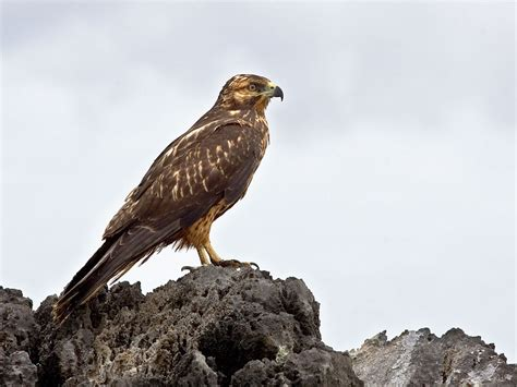 galapagos hawk wikipedia