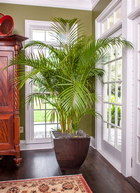 areca palm areca palm sized quality plant shipped to your door