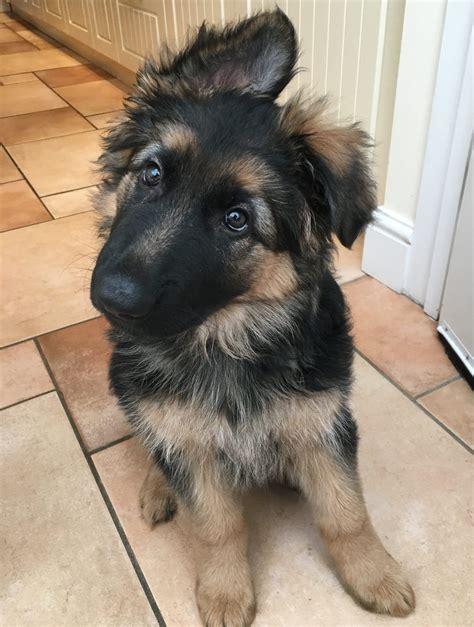 10 week german shepherd puppies 10 week german shepherd puppy freyja heath s personal in essex