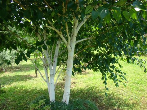 Alba 033 White Silver betula utilis jacquemontii himalayan white barked birch