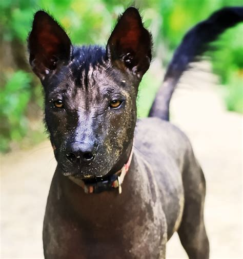 mexican hairless puppies mexican hairless