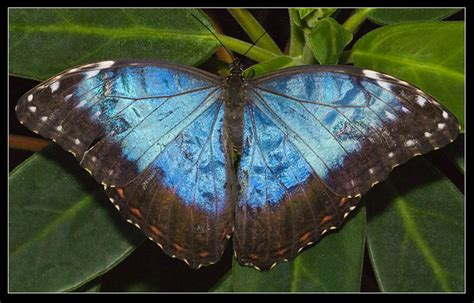 blue morpho butterfly morpho peleides wings open flickr