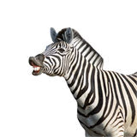 zebra pattern meaning zebra stock photos images pictures 40 912 images