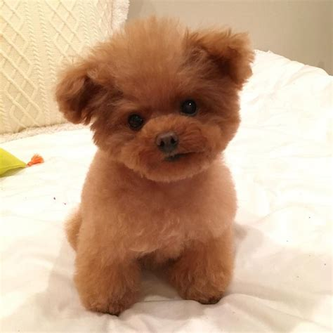 tea cups dogs 25 best ideas about teacup poodle puppies on teacup animals poodle