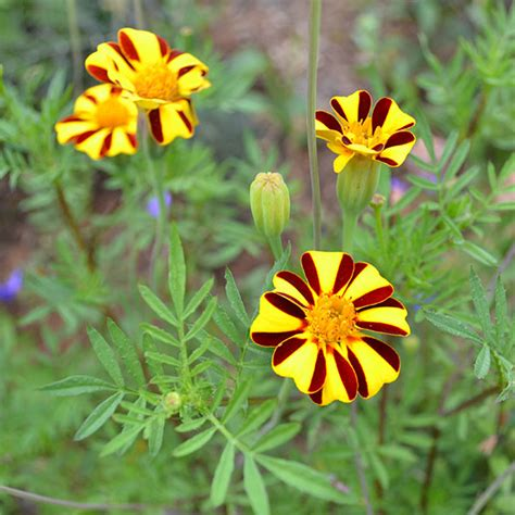 Pillows For Bed Striped French Marigold Seeds Tagetes Patula