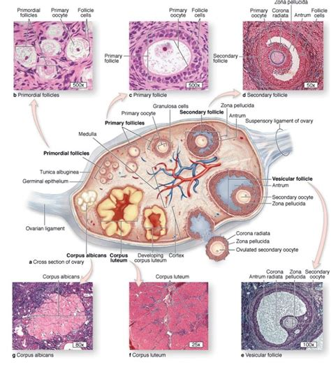 section of ovary ovary diagrams to print diagram site